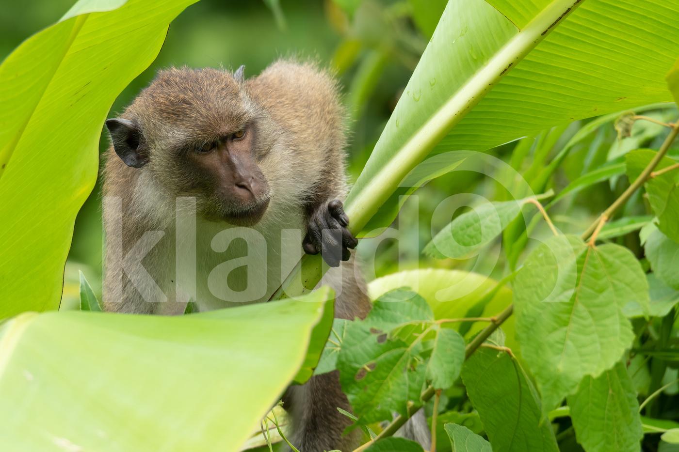 Young male Crab-eating macaque climbing banana tree