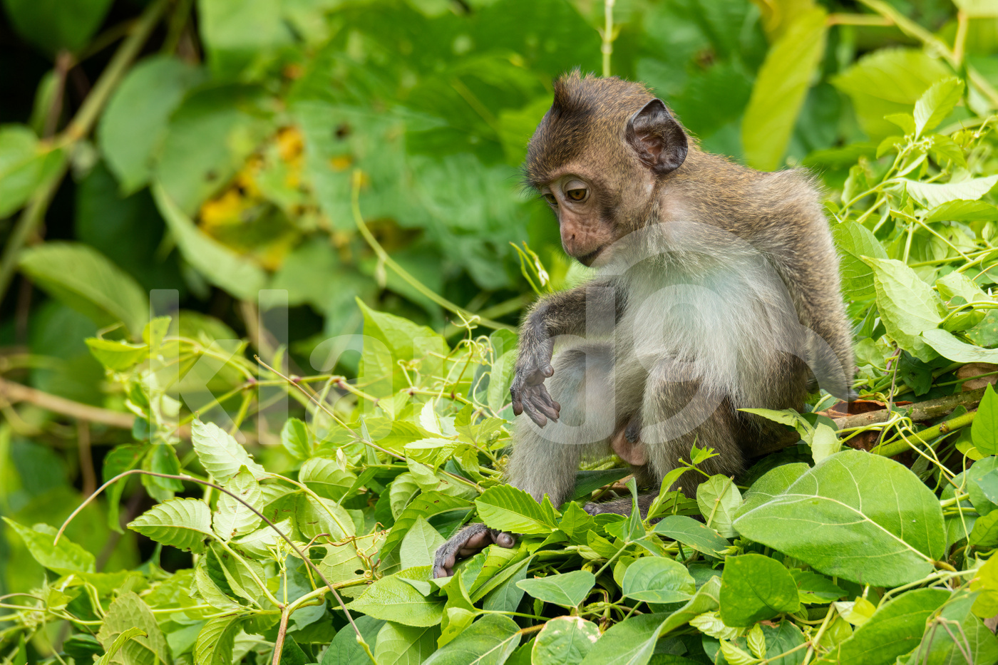 Young male Crab-eating macaque sitting on top of the bush