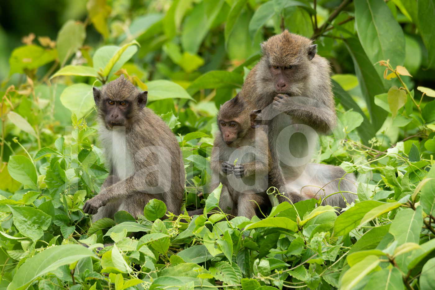Female Crab-eating macaque with her two young kids sitting and eating leaves on top of the bush