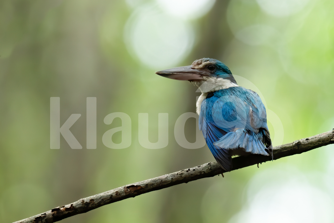 Mangrove kingfisher perching on a mnagrove branch